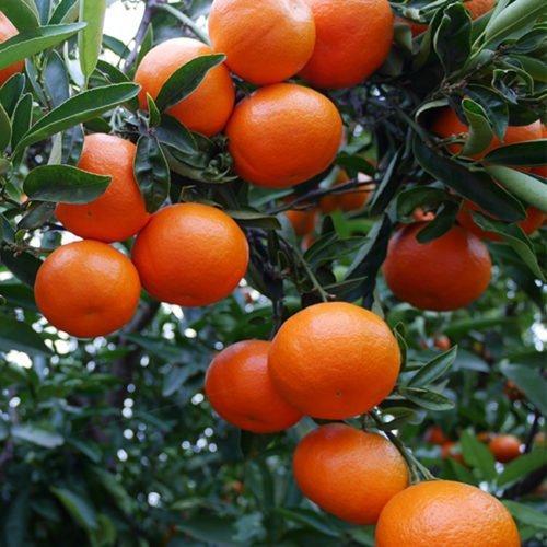 clementinas arbol huertos perdine