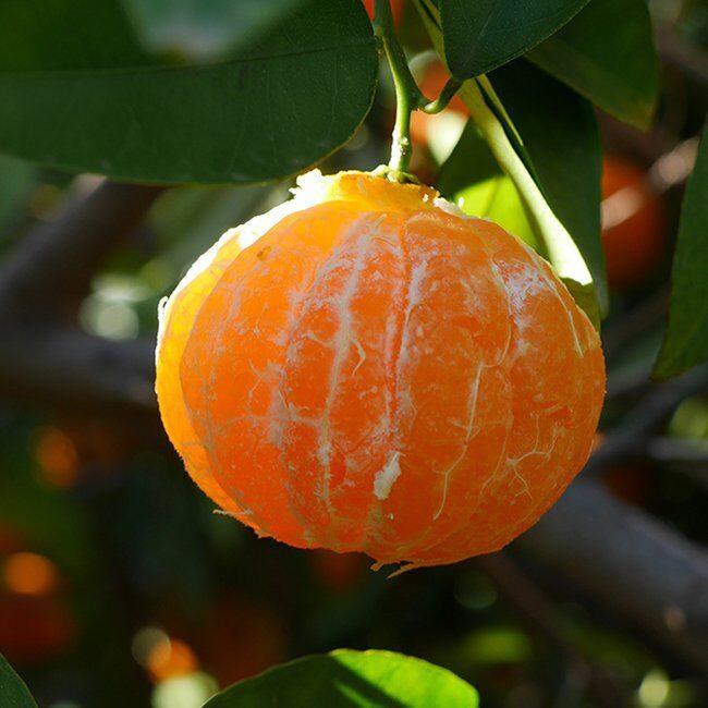 clementina fina pelada arbol perdide