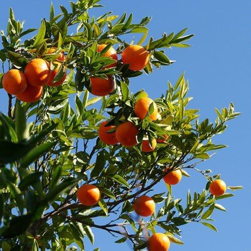 clementina fina perdine arbol huerto