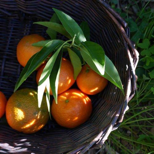 naranjas cesta cosecha natural perdine