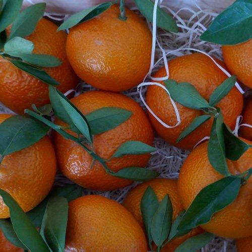 naranjas ortanique cosecha