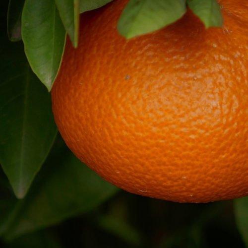 naranja ortanique perdine