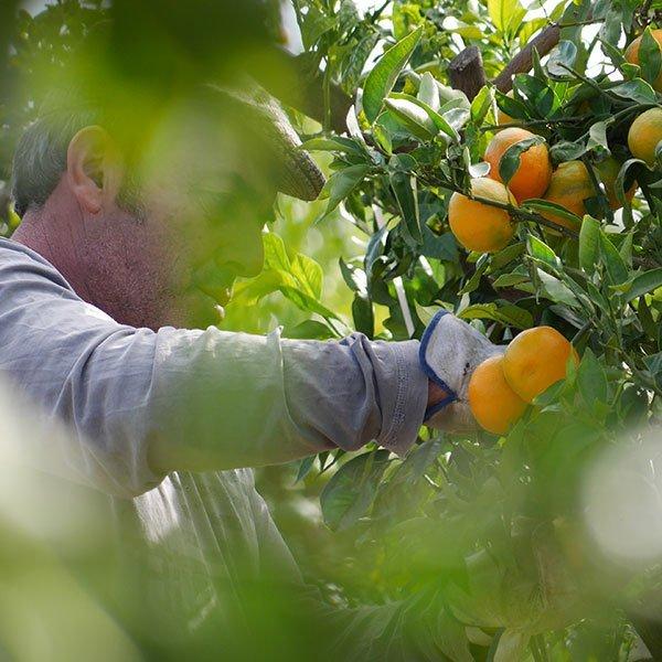 perdine temporada naranjas clementinas