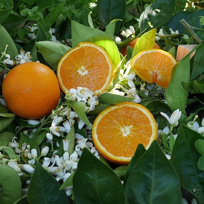 naranjas valencia late huerto