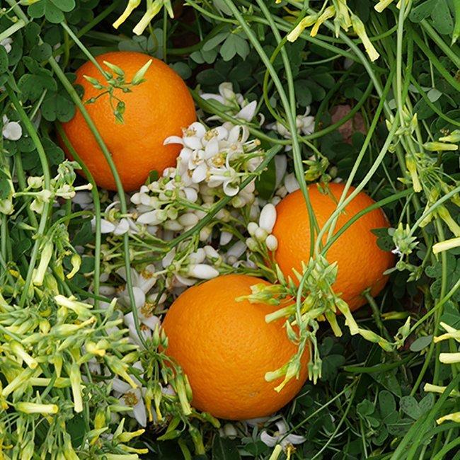 naranjas valencia late perdine