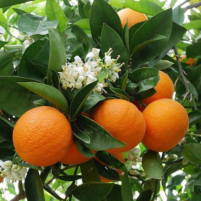 naranjas valencia late